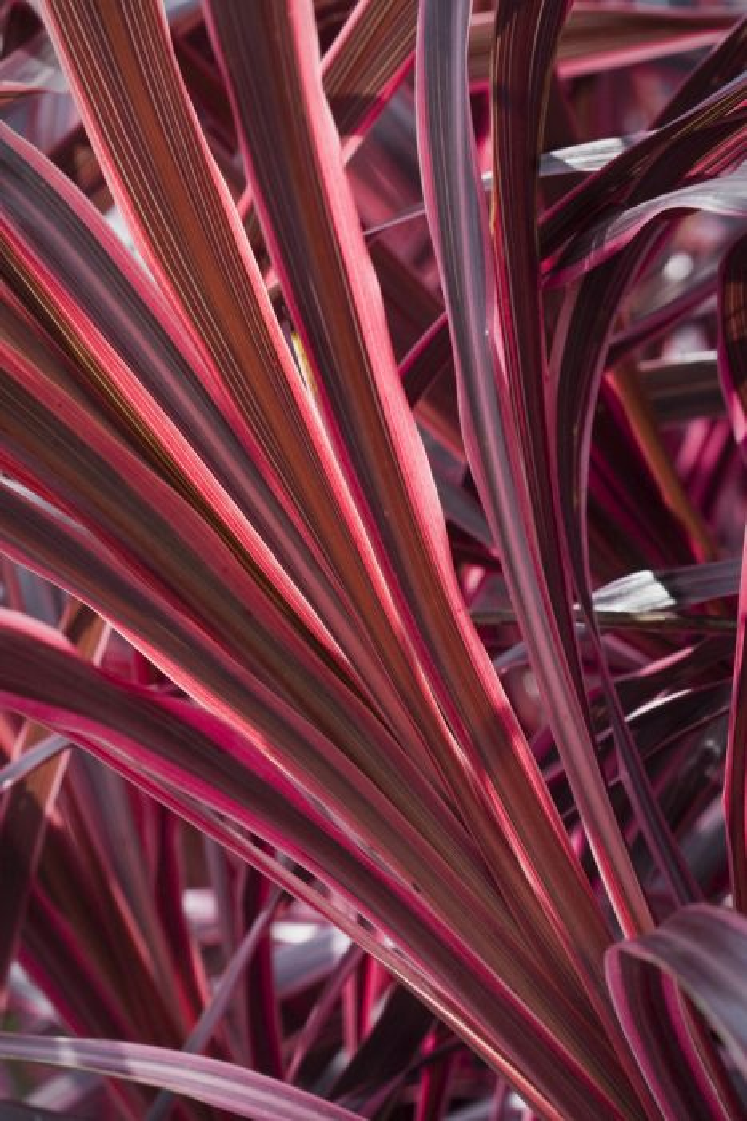 cabbage palm 'Sunrise'