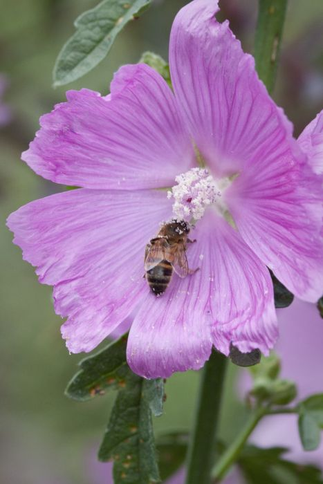 greater musk mallow