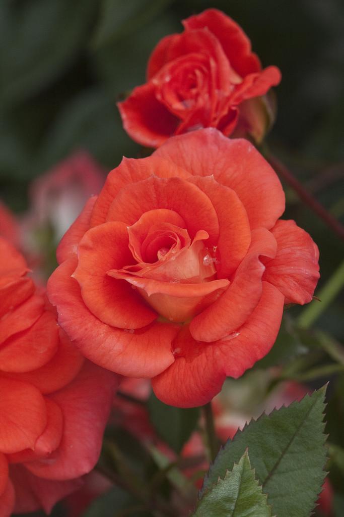 rose [Sunseeker]