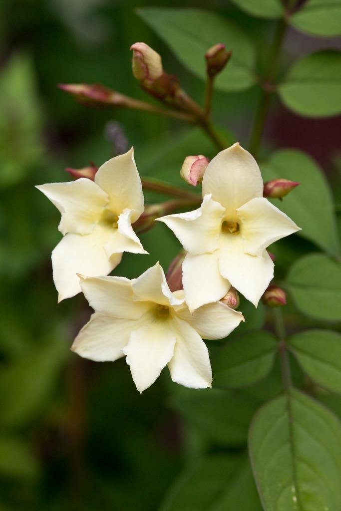 jasmine 'Devon Cream'