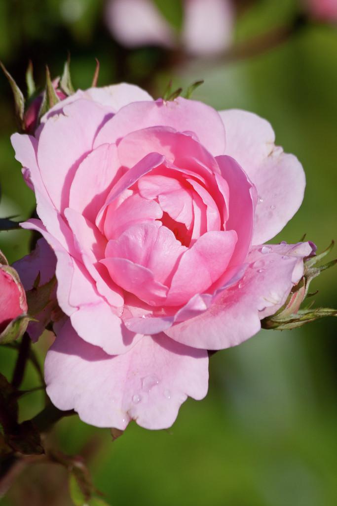 rose [Bonica]