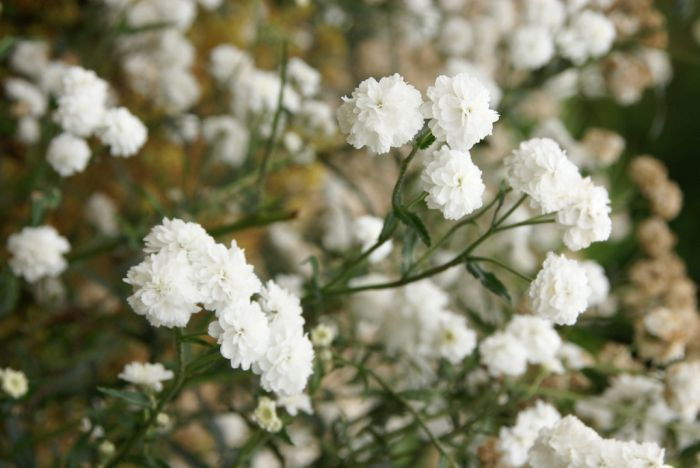 sneezewort 'Perry's White'