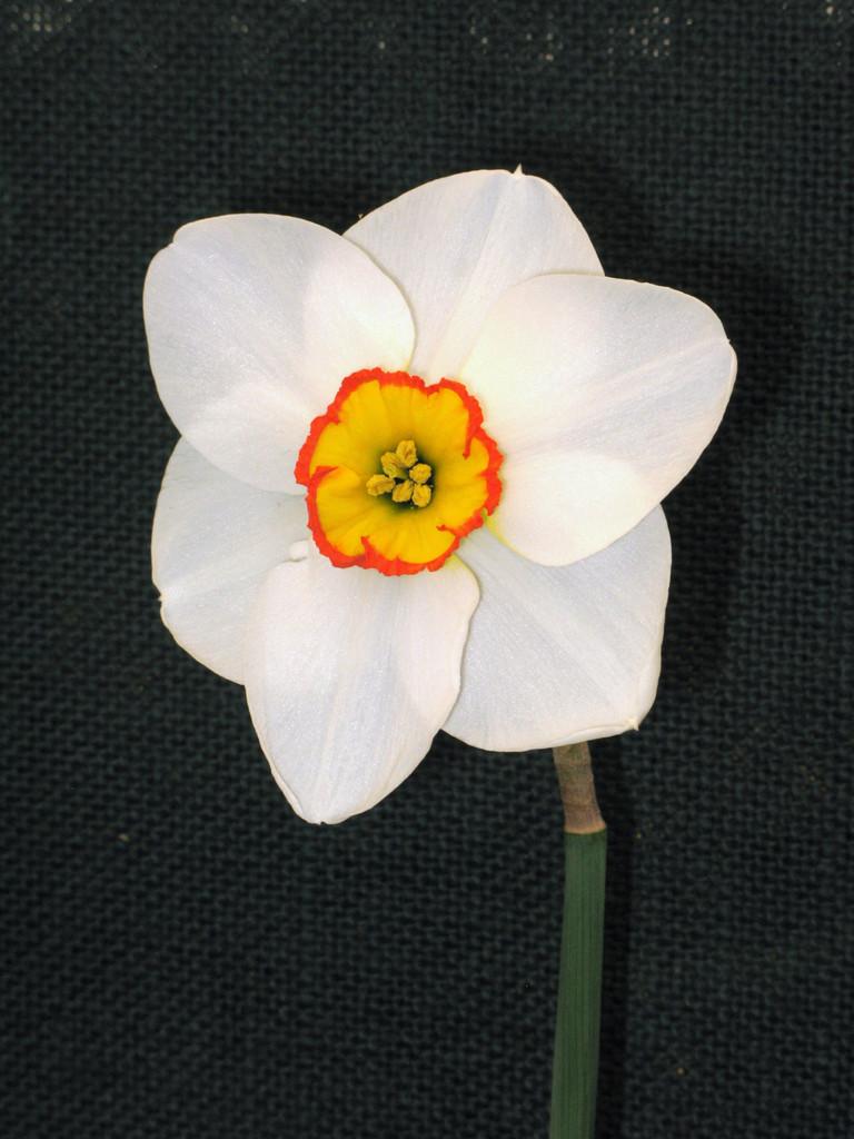daffodil 'Merlin'