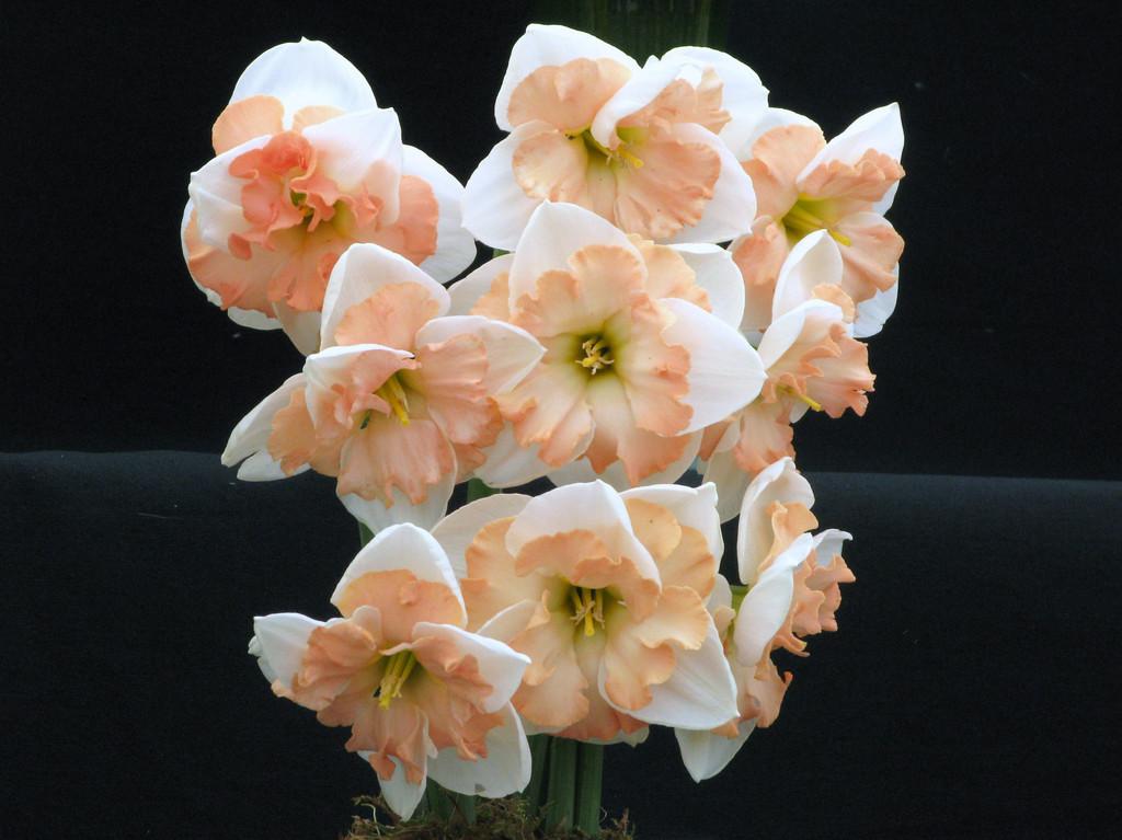 daffodil 'Trigonometry'