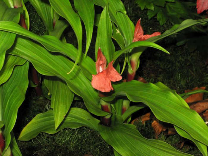 red-flowered purple roscoea