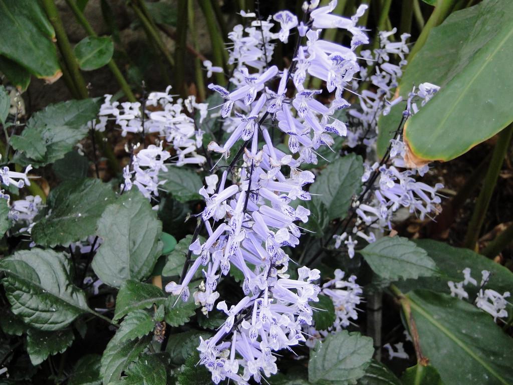 plectranthus [Mona Lavender]