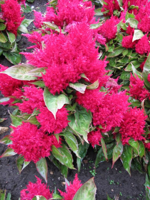cockscomb 'Glow Red'