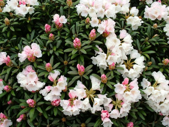 rhododendron yakushimanum 39 edelweiss 39 rhododendron. Black Bedroom Furniture Sets. Home Design Ideas