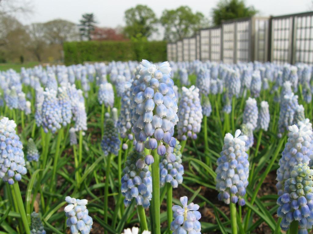 Muscari armeniacum 'Peppermint' | grape hyacinth 'Peppermint'/RHS Gardening