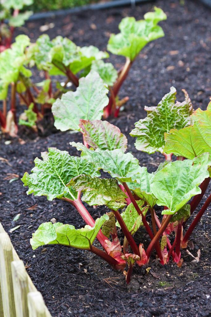 rhubarb 'Grandad's Favorite'