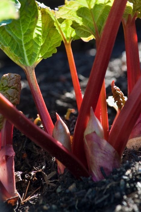 rhubarb 'Reed's Early Superb'