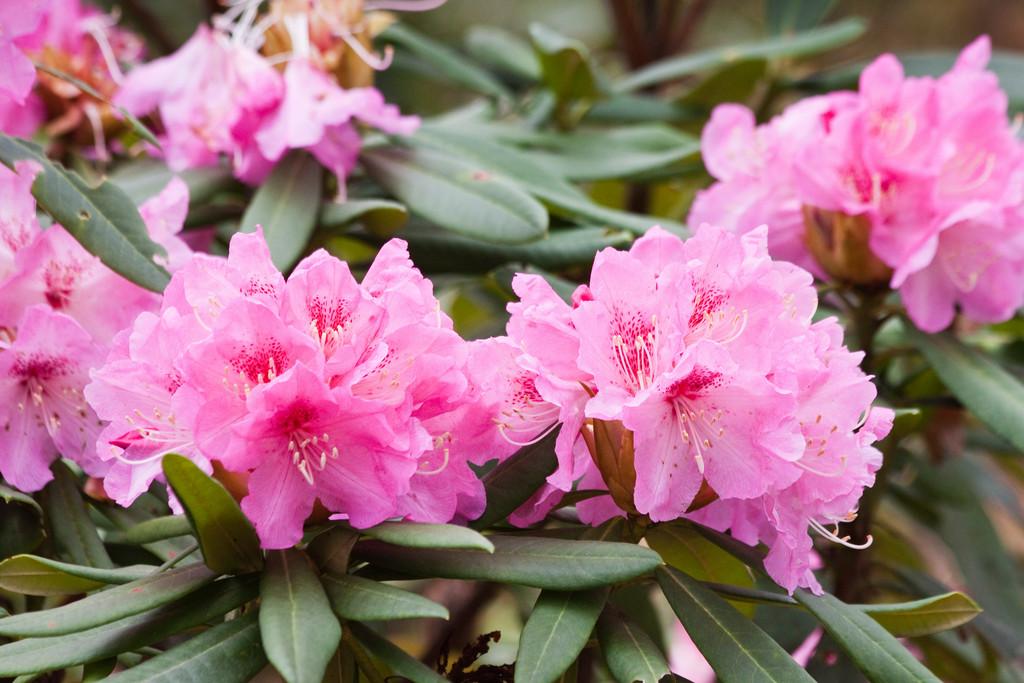 rhododendron 'Nobleanum Venustum'