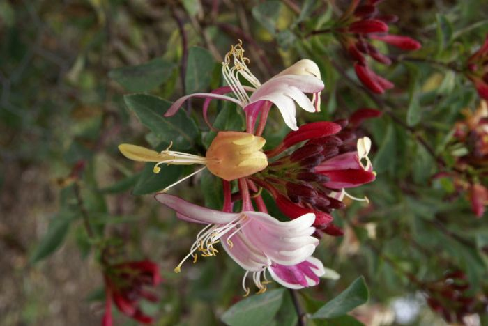 honeysuckle 'Red Gables'
