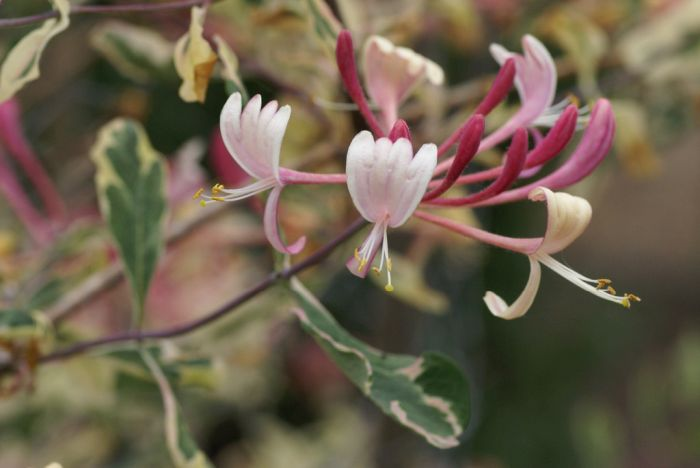 honeysuckle [Harlequin]
