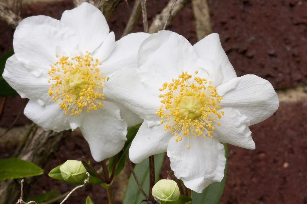 tree anemone 'Elizabeth'