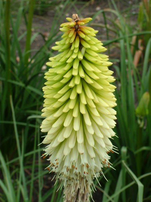 red-hot poker 'Ice Queen'