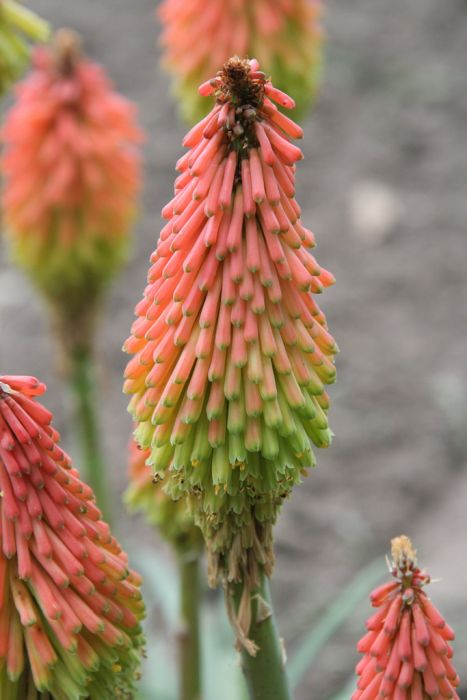 hairy red-hot poker