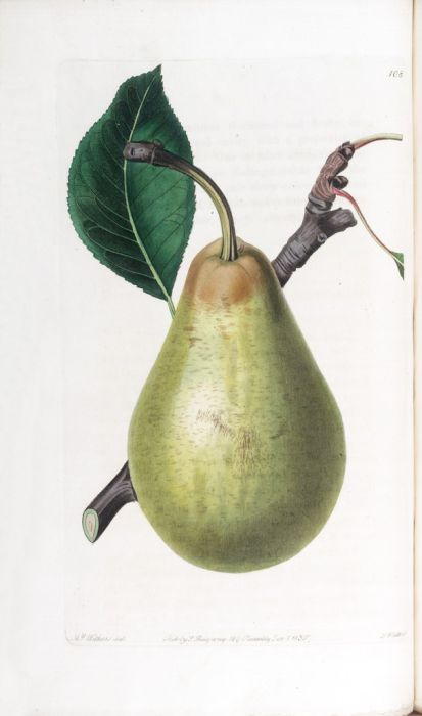 pear 'Jargonelle'