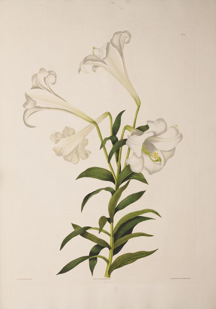 Bermuda lily