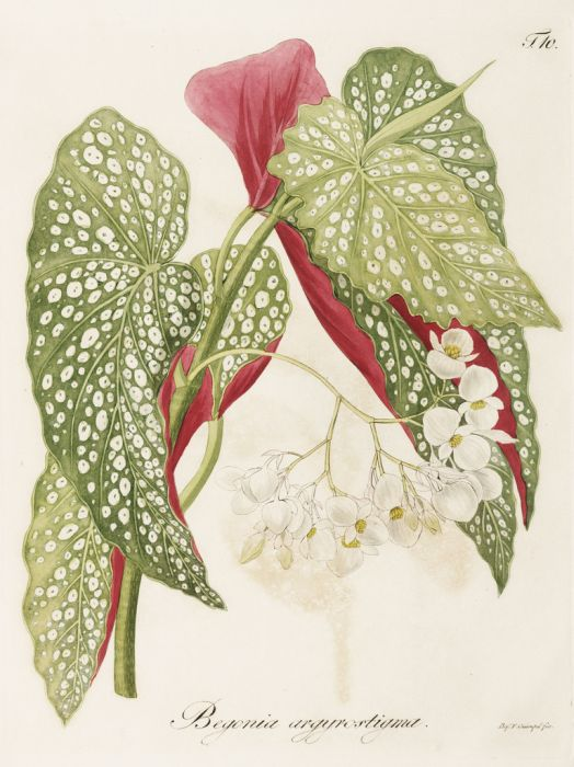 trout begonia