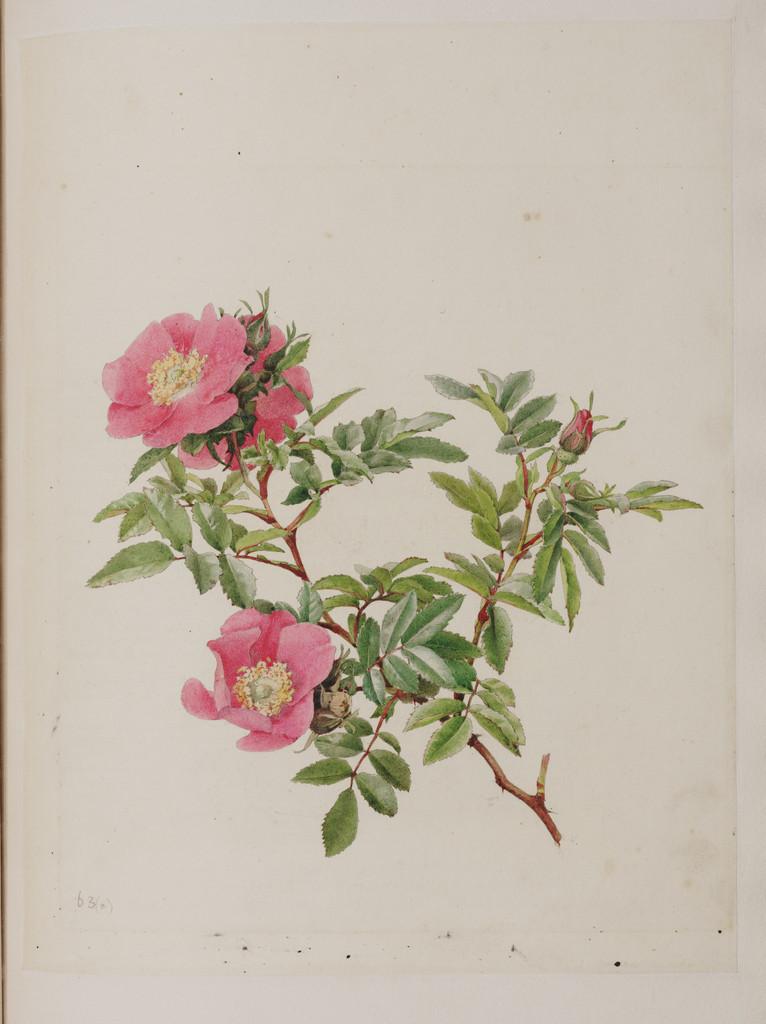 American dwarf wild rose