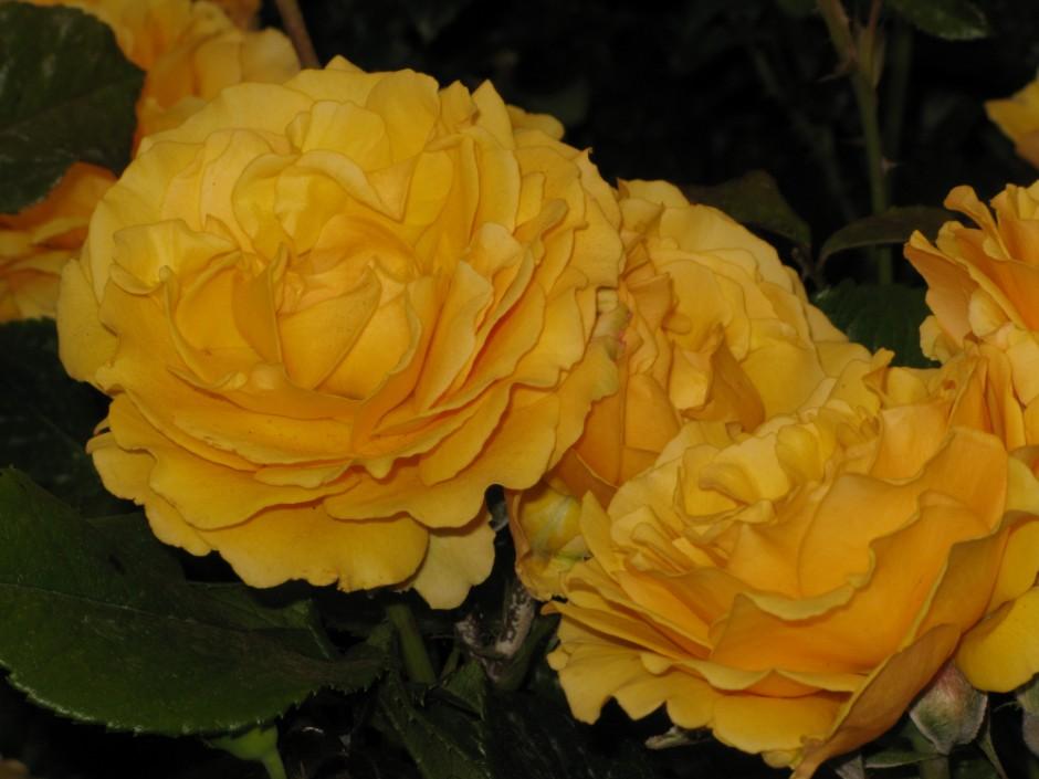 rose [Amber Queen]