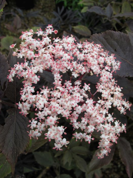 elder 'Guincho Purple'