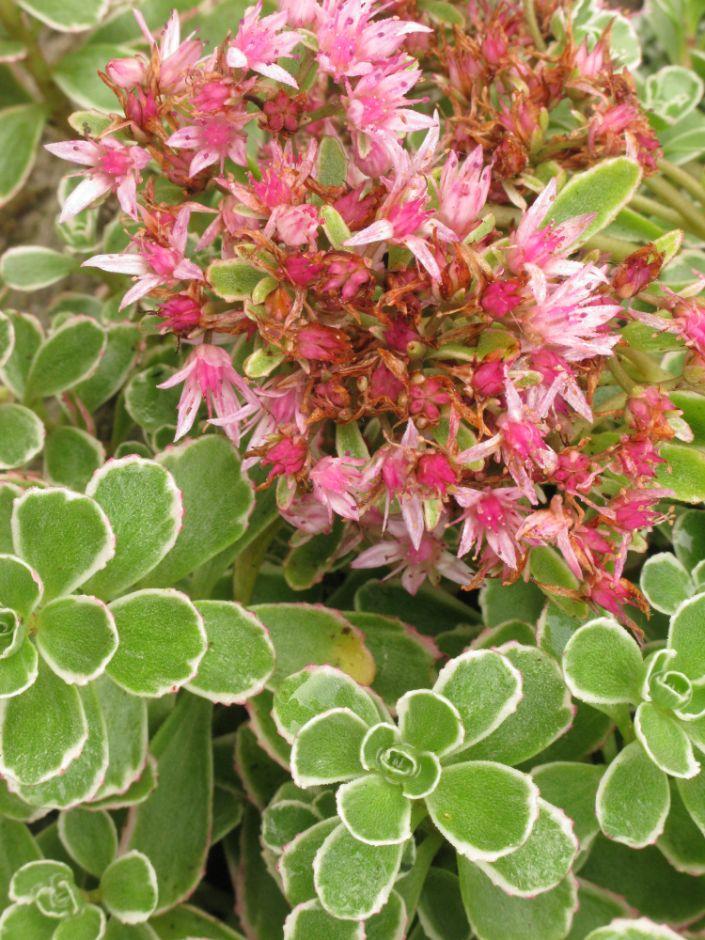 Sedum Spurium Tricolor V