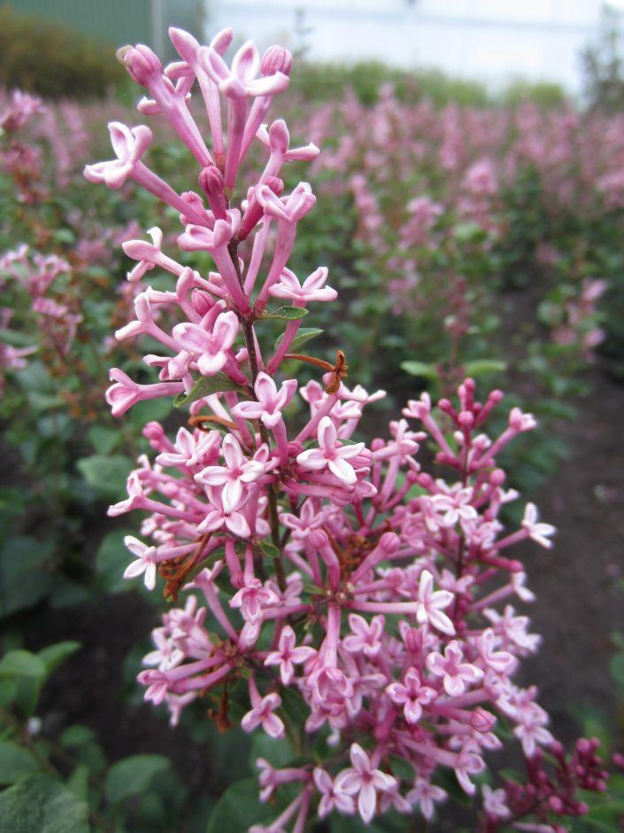 lilac 'Pink Perfume'