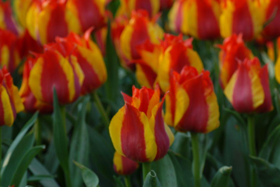 Tulip 'Kiev'
