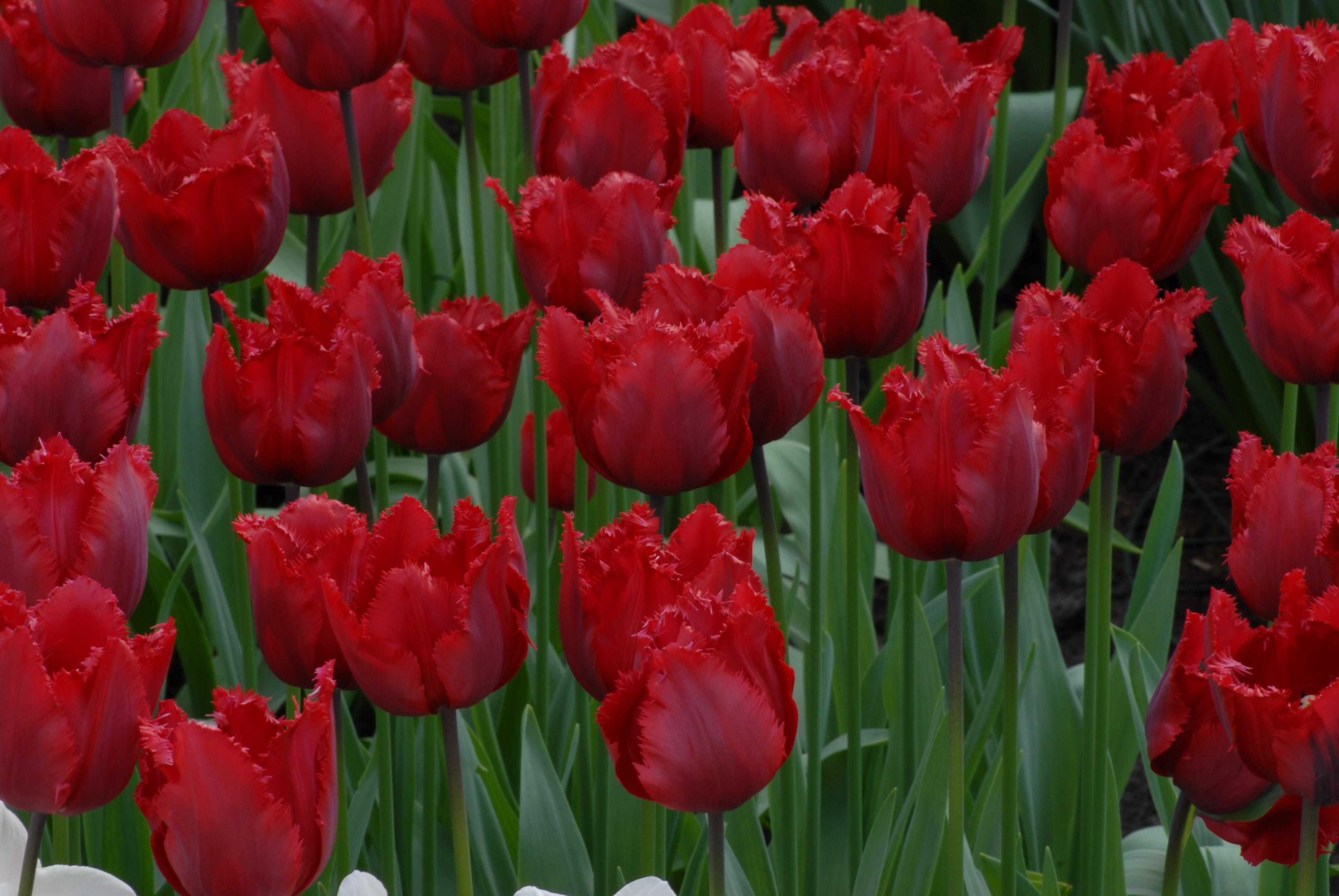 tulip 'Red Hat'