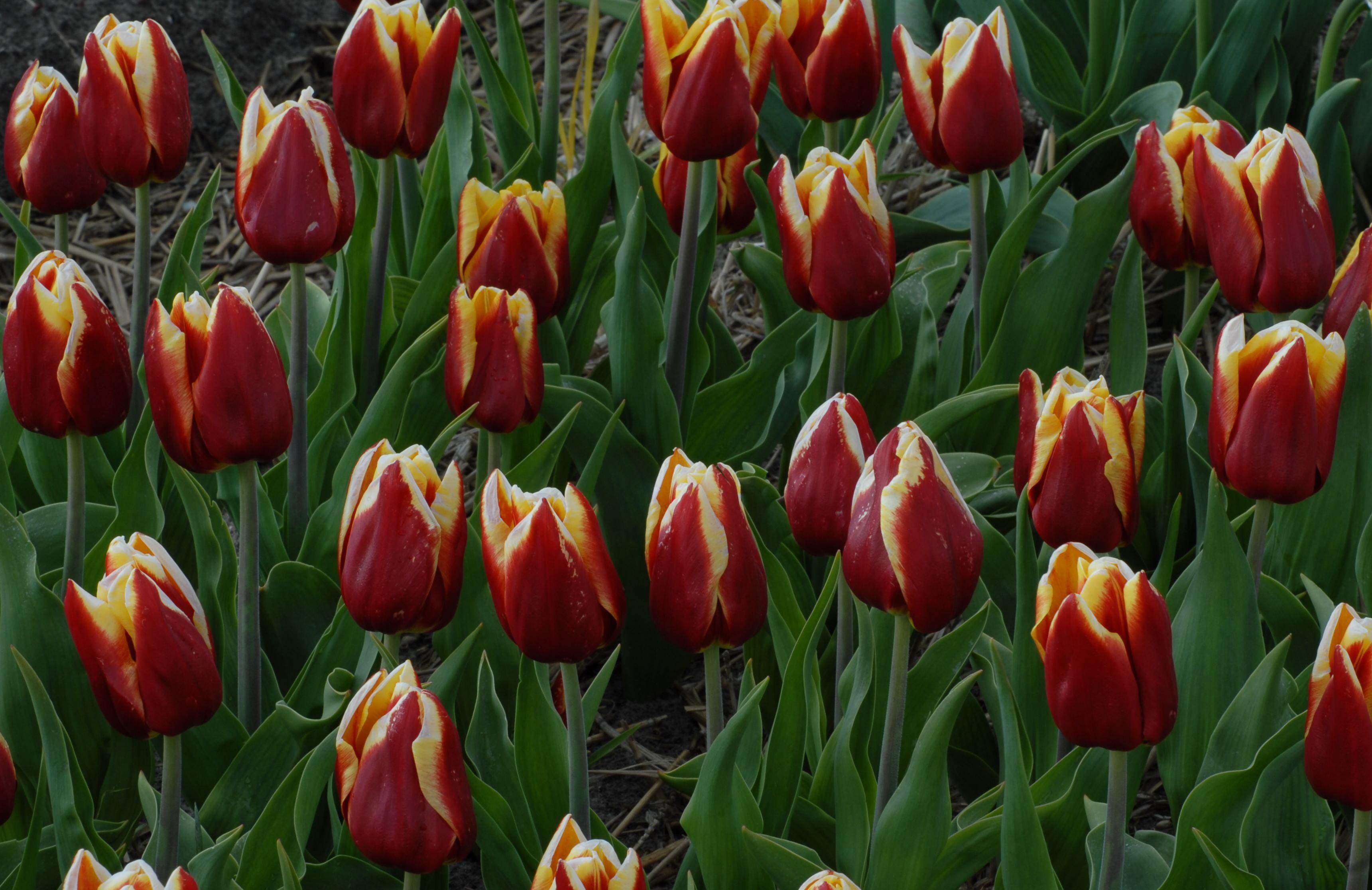 tulip 'Reputation'