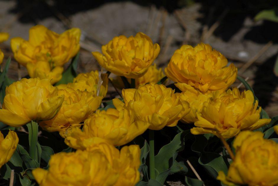 tulip 'Yellow Baby'