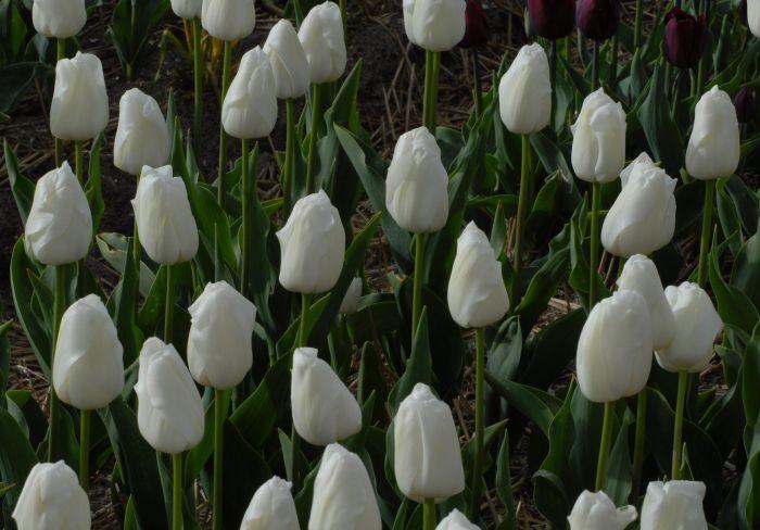 tulip 'Alaska Star'