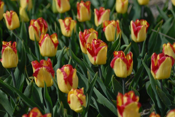 tulip 'Cape Town'
