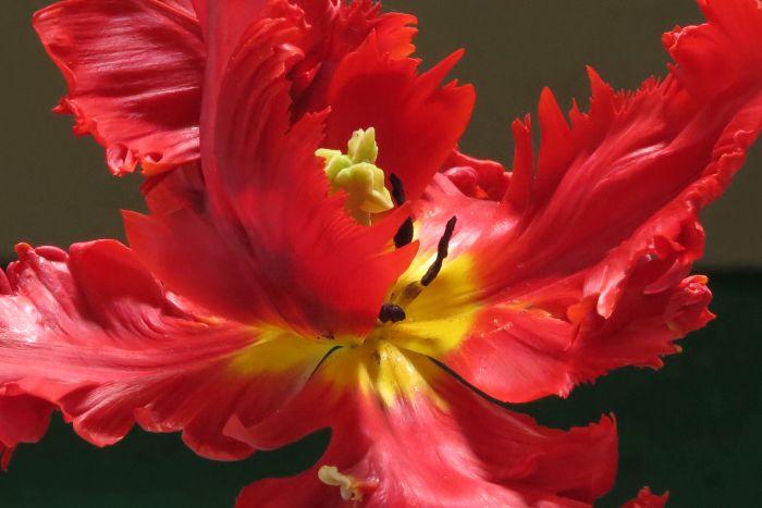 tulip 'Rococo'