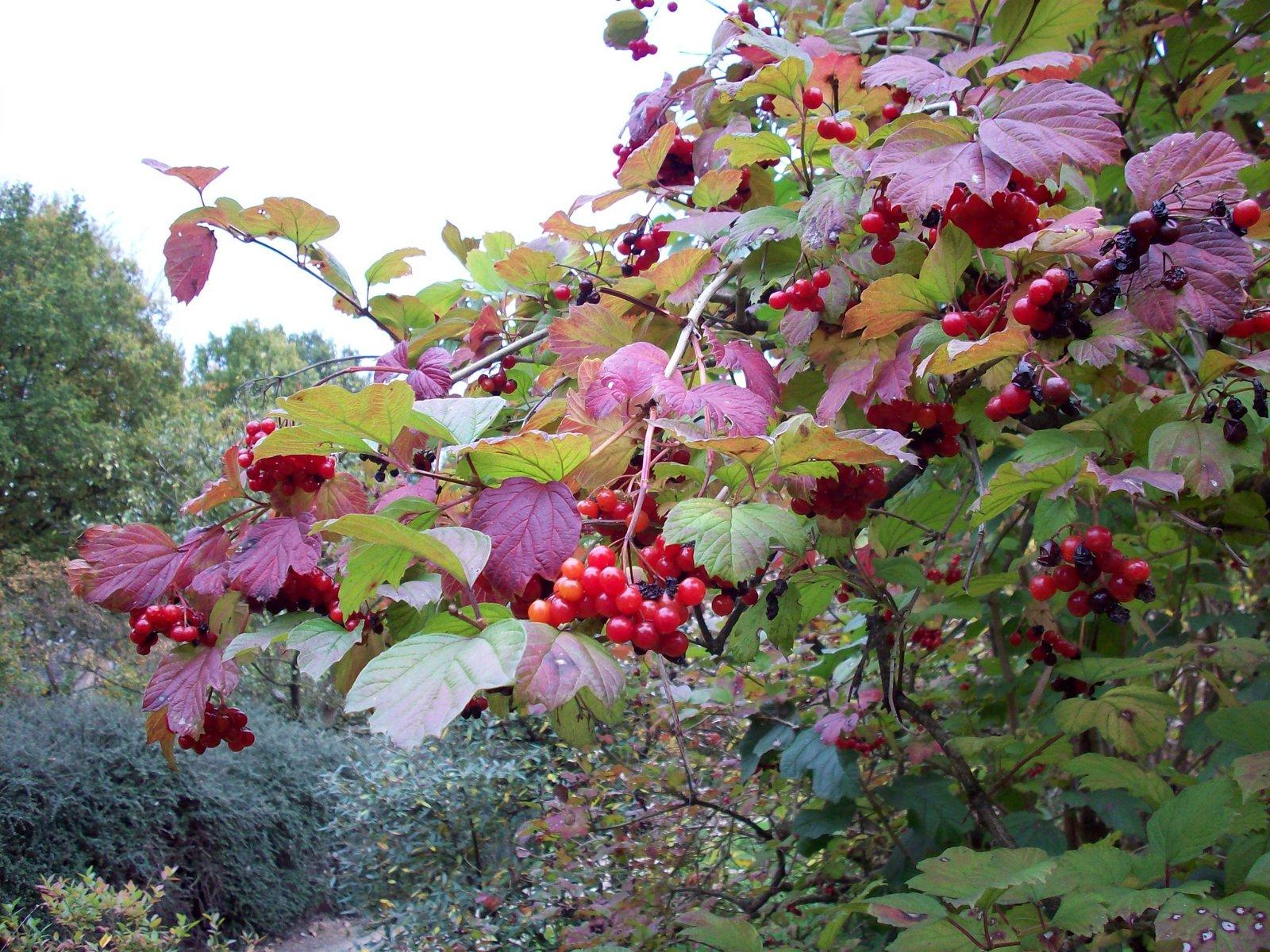 guelder rose 'Notcutt's Variety'