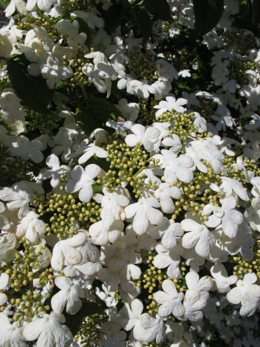 Japanese snowball 'Nanum Semperflorens'