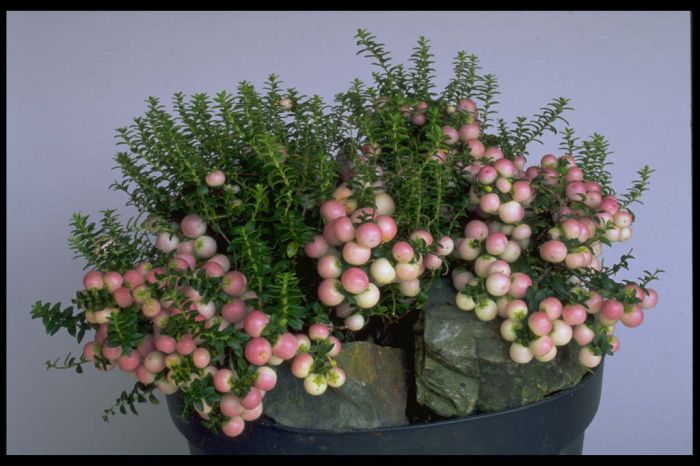 gaultheria 'Pearls'