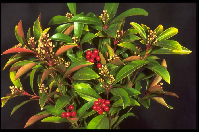 skimmia 'Chilan Choice'