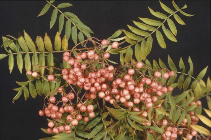 mountain ash 'Eastern Promise'