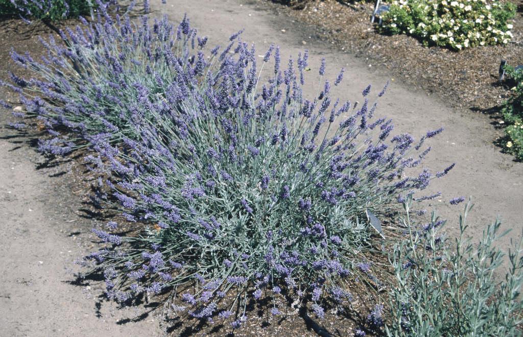 lavender 'Sawyers'