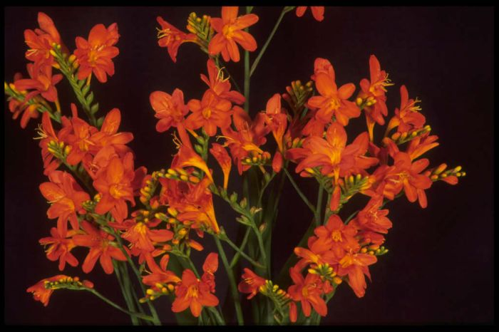 montbretia 'Severn Sunrise'