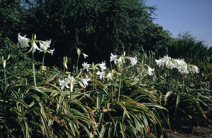 white Powell lily