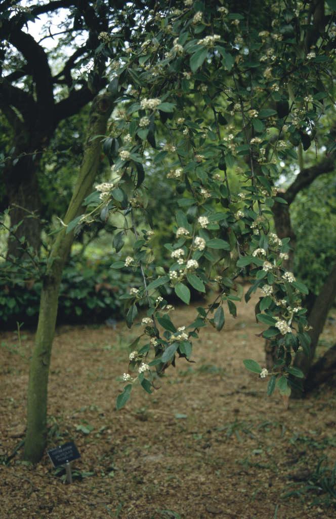 cotoneaster 'Hybridus Pendulus'
