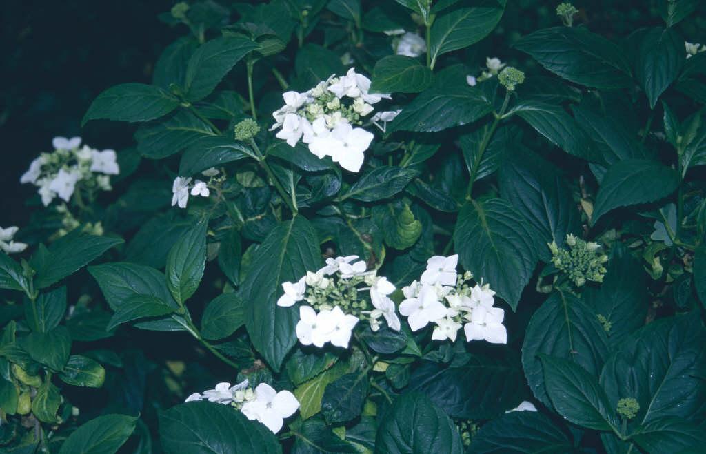 hydrangea 'Lanarth White'