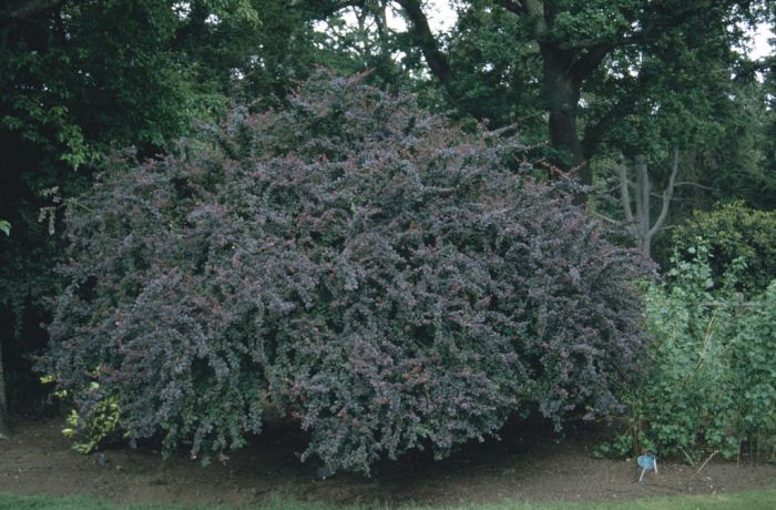 barberry 'Superba'