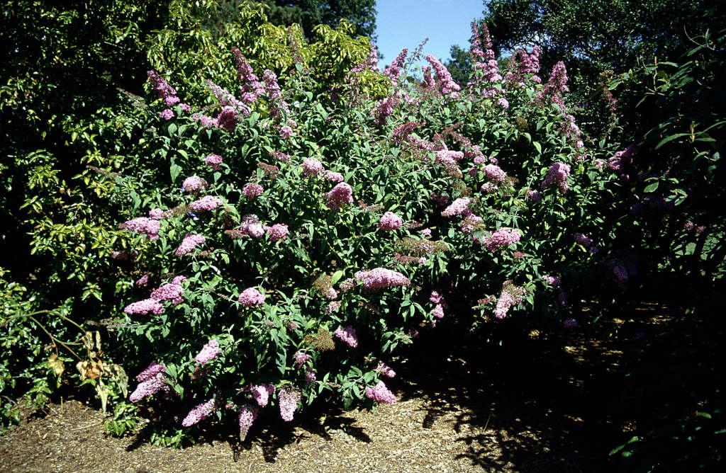 butterfly bush 'Pink Delight'