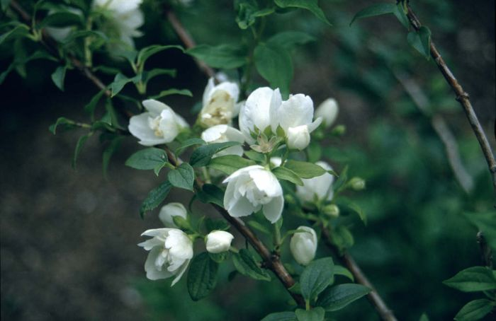 mock orange 'Manteau d'Hermine'