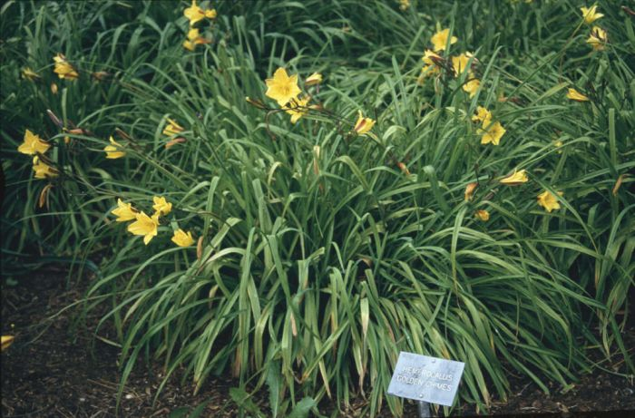 daylily 'Golden Chimes'